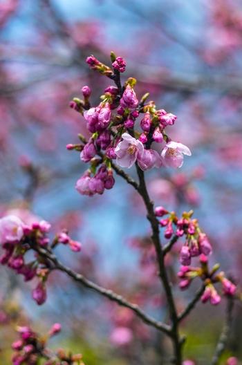 満濃池 陽光桜開花しました