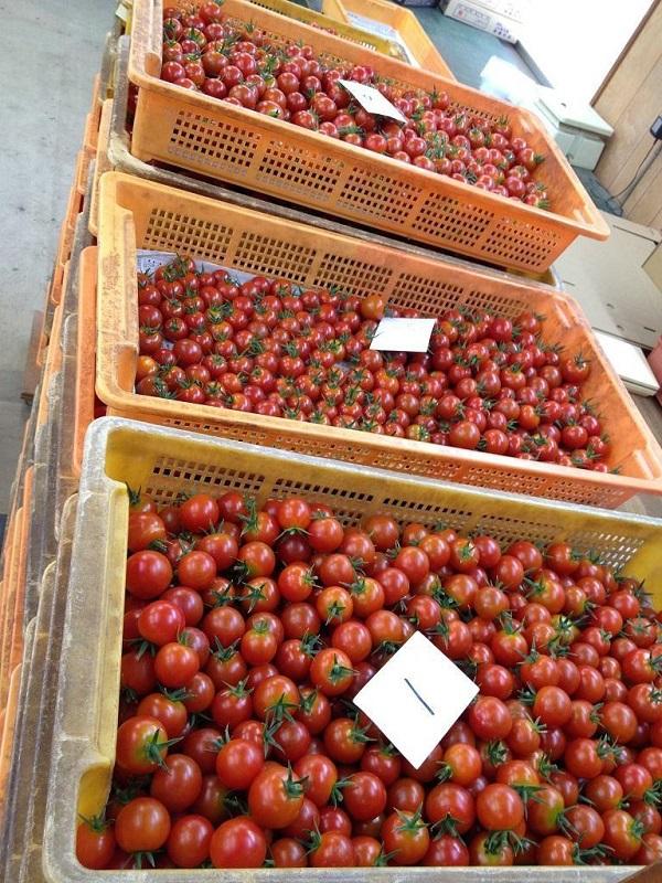 さぬき市、いしかわ農園さんのミニトマトです!!